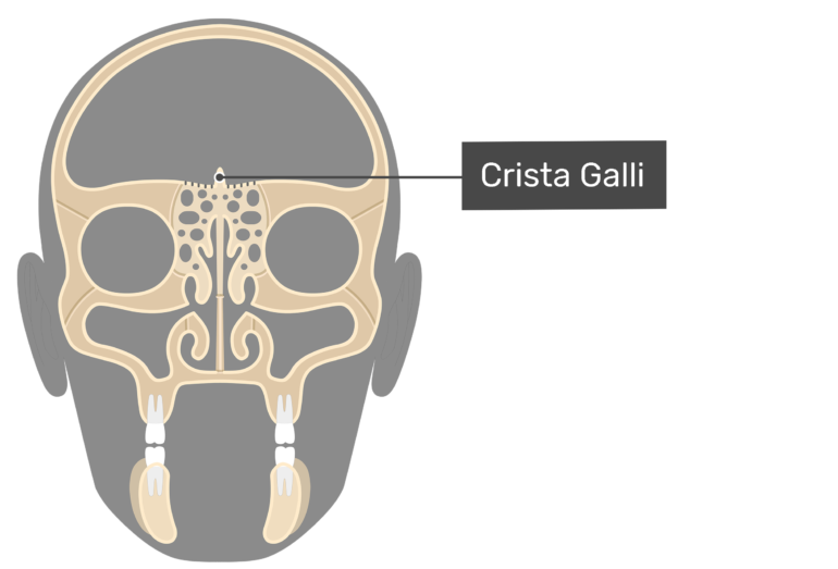 Coronal view of the crista galli.