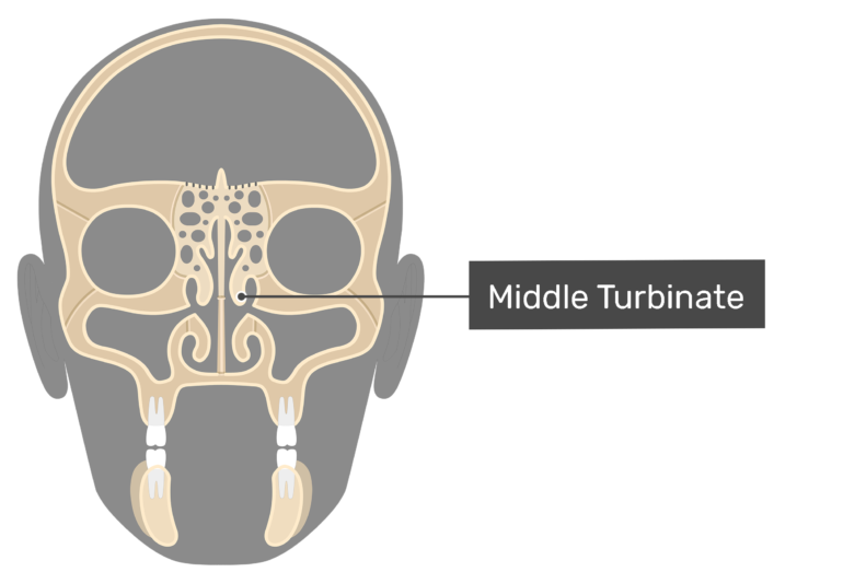 Coronal view of the middle turbinate.