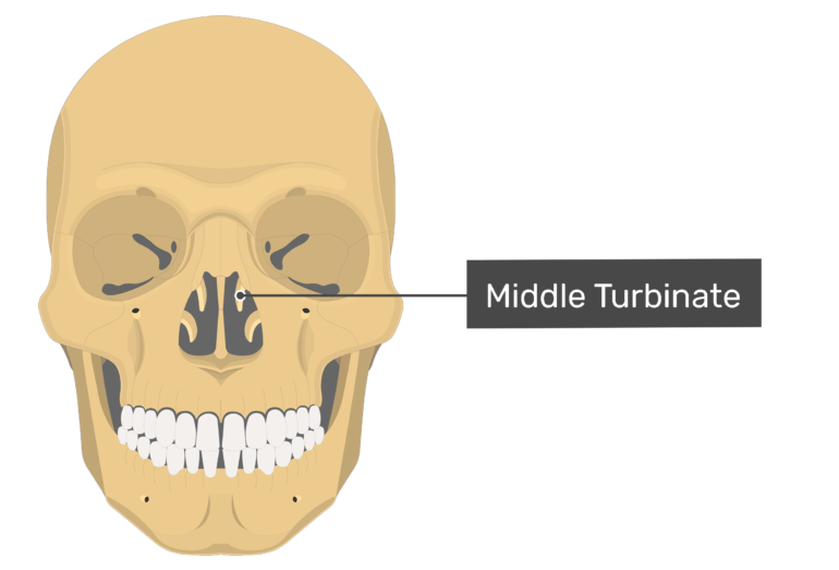 Anterior view of the middle turbinate.