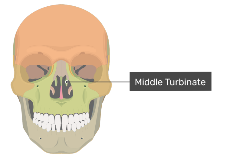 Anterior view of the middle turbinate highlighted and labeled.