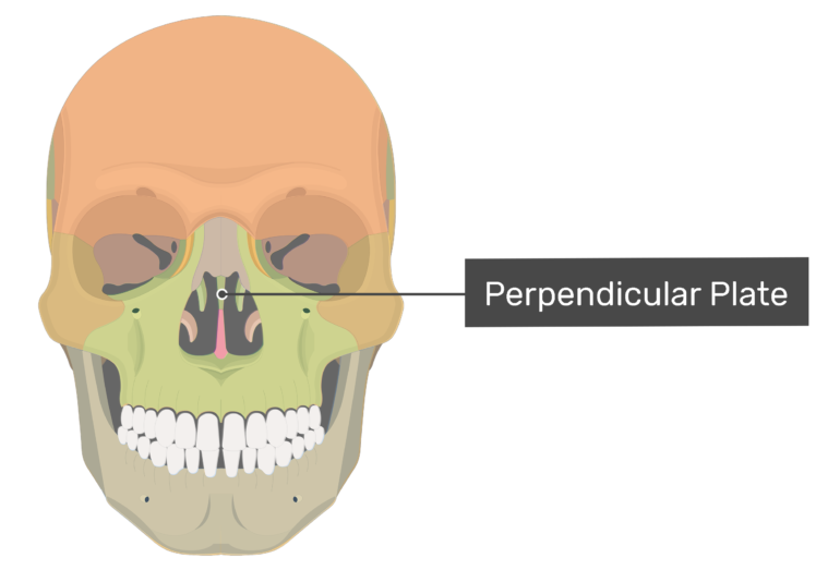 Anterior view of the perpendicular plate highlighted and labeled