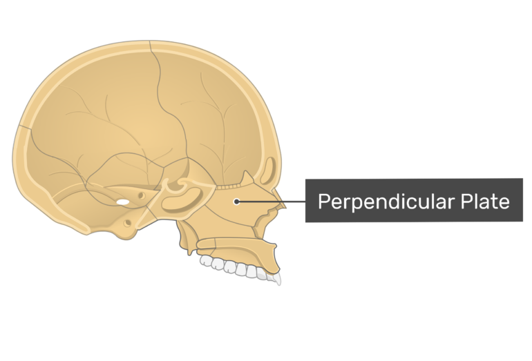 Midsagittal view of the perpendicular plate