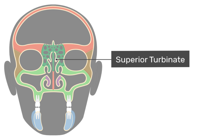 Coronal view of the superior turbinate highlighted and labeled.