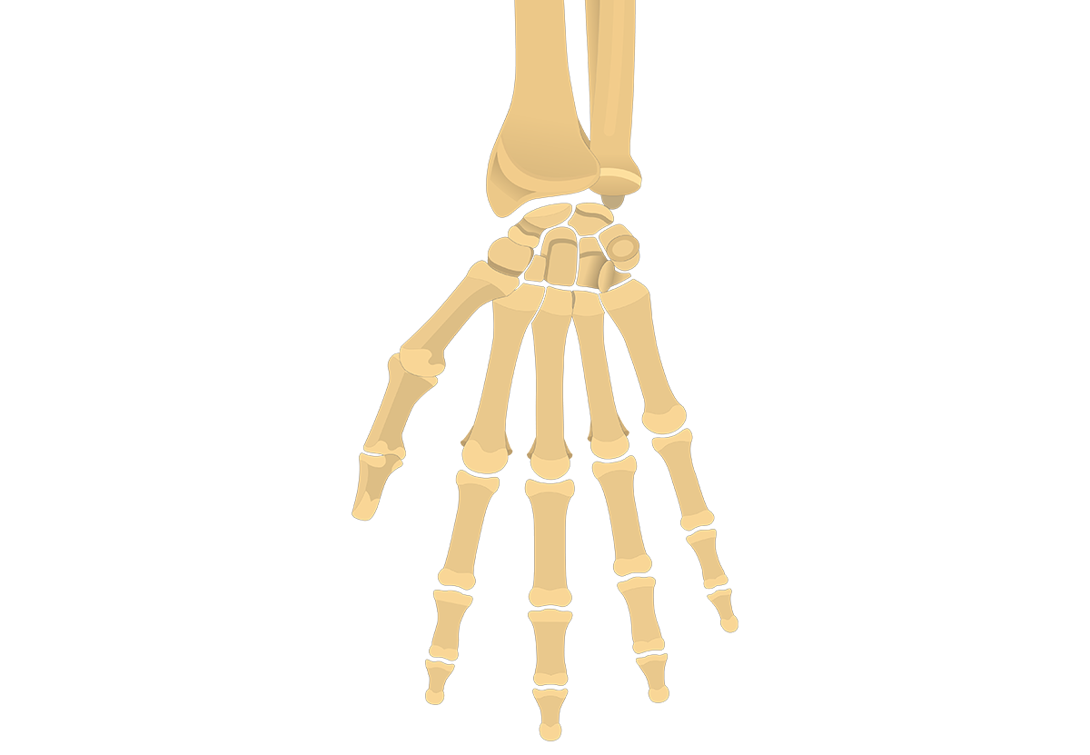 Hand And Wrist Bones Quiz Anterior Palmar View