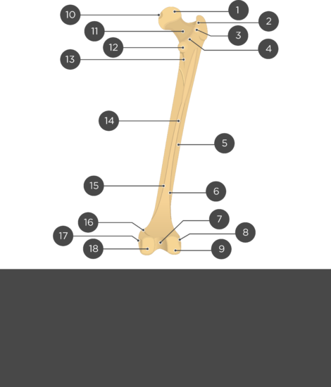 Femur bone - Test yourself