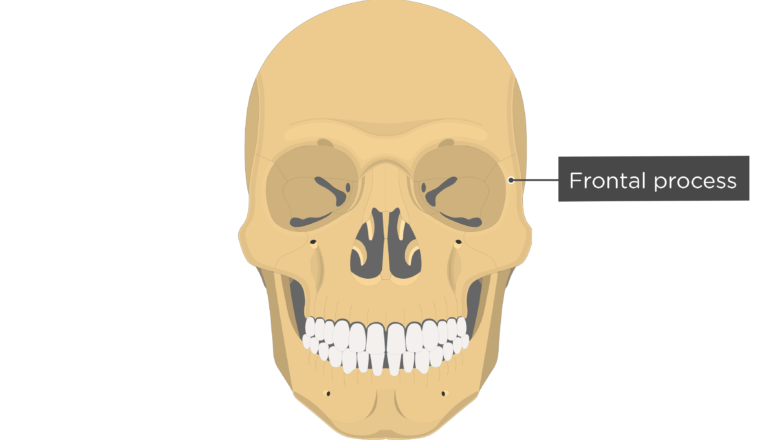 Frontal process - Zygomatic Bone - Anterior-View