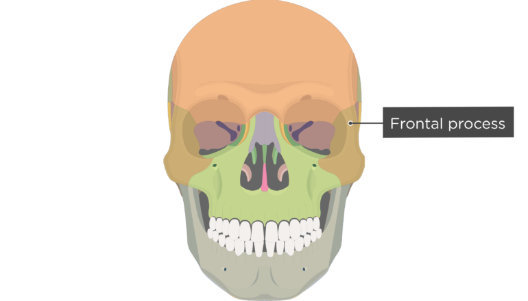 Frontal process - Zygomatic Bone - Anterior-View - Colored