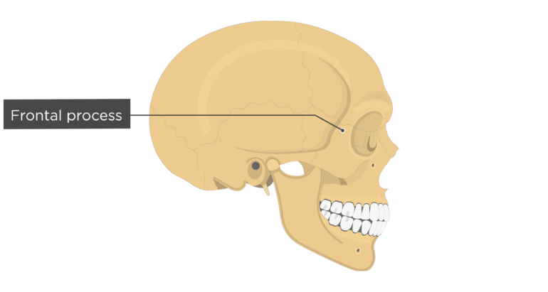 Frontal process - Zygomatic Bone - Lateral View