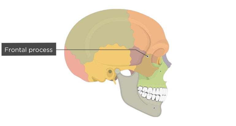 Frontal process - Zygomatic Bone - Lateral View - Colored