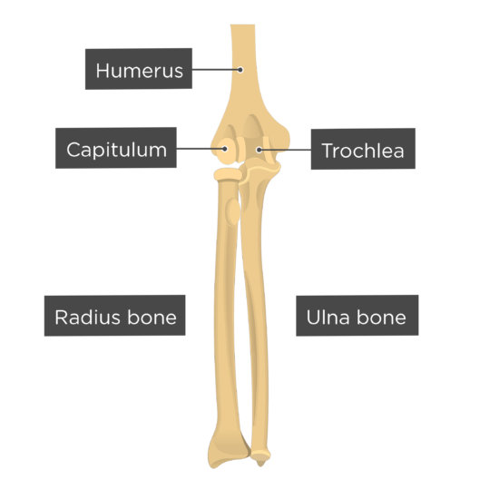 Elbow joint labeled