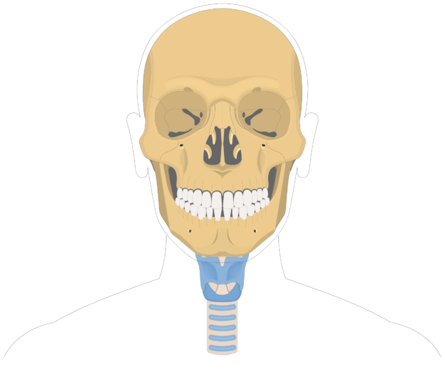 Hyoid bone overview-1