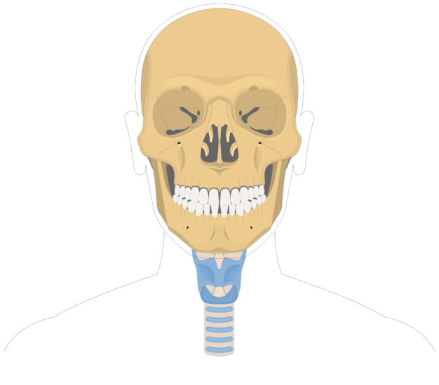 Hyoid bone overview-2