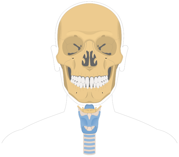 Hyoid bone overview-4