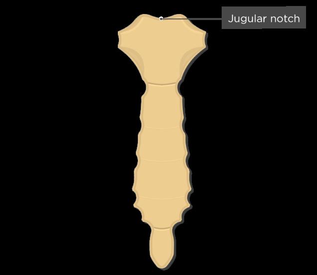 Sternum Bone Anatomy