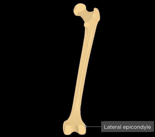 Lateral epicondyle - Femur bone