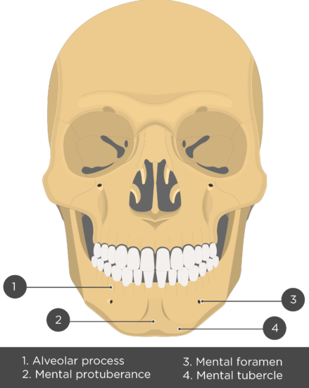Mandible bone - Anterior view - Test yourself - Answers