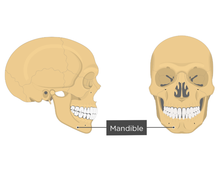 Mandible bone - Overview