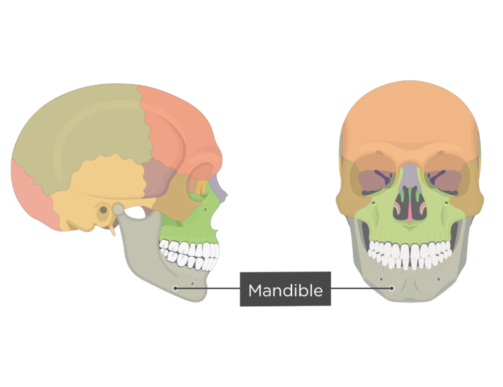 Mandible bone - Overview - Colored