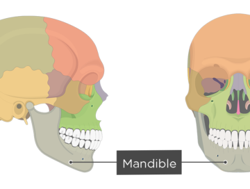 Mandible bone - Overview - Featured Image