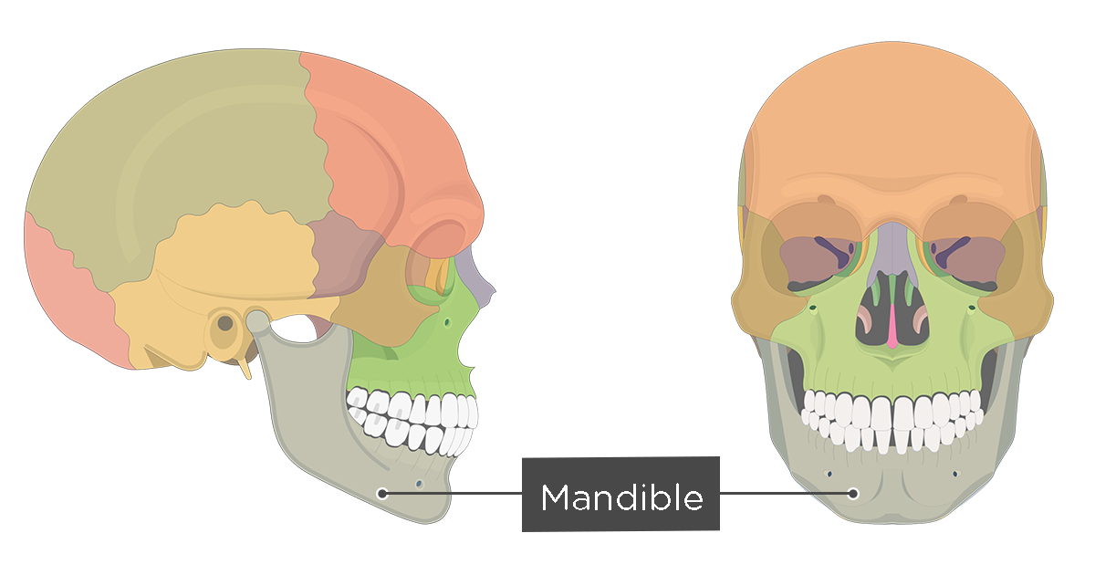 Mandible Bone Anatomy