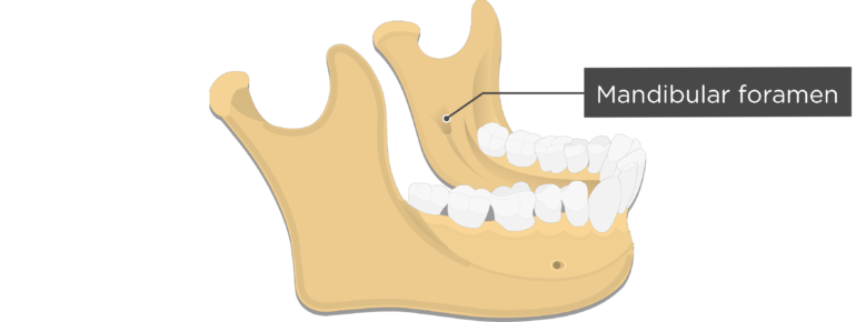Mandibular foramen - Mandible bone - Lateral view