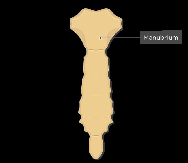 Manubrium - Sternum Bone - Anterior View