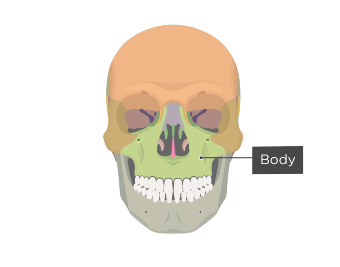 Anterior view of view of the skull showing the body of the maxilla