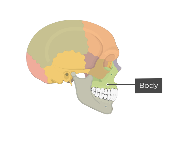 Lateral view of view of the skull showing the body of the maxilla