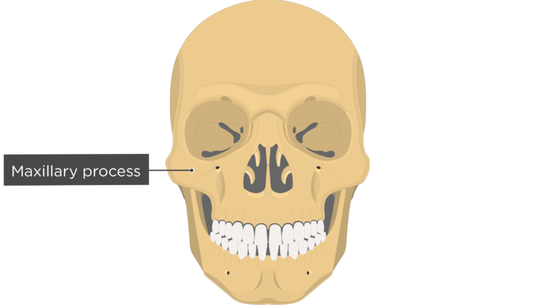 Maxillary process - Zygomatic Bone - Anterior-View