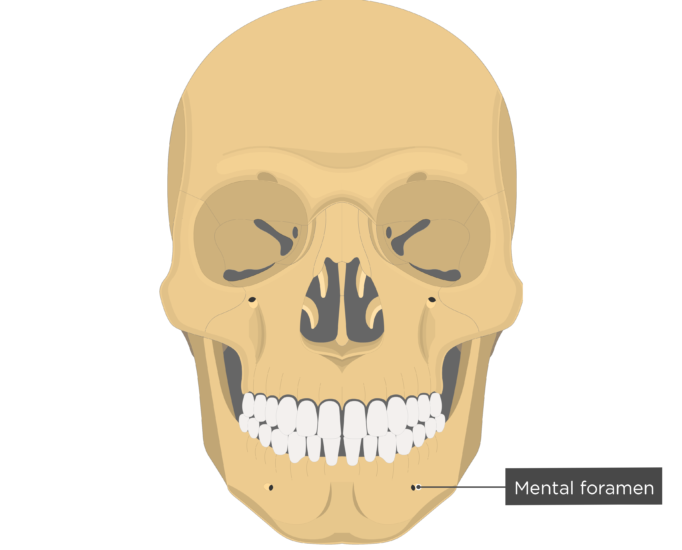 Mental foramen - Mandible bone - Anterior view