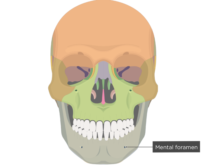 Mental foramen - Mandible bone - Anterior view colored