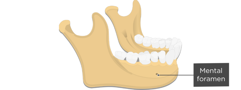 Mental foramen - Mandible bone - Lateral view