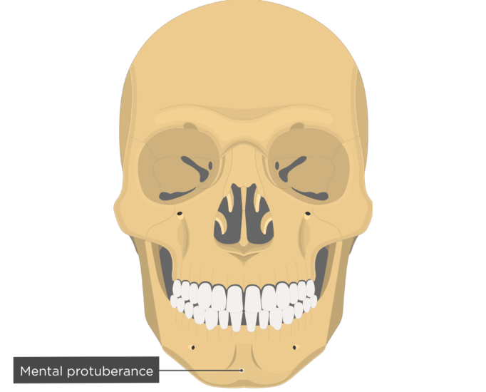Mental protuberance - Mandible bone - Anterior view