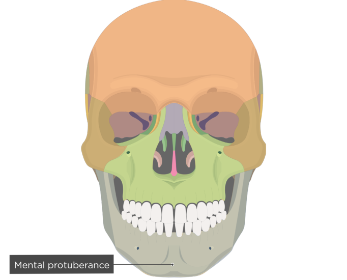 Mental protuberance - Mandible bone - Anterior view colored