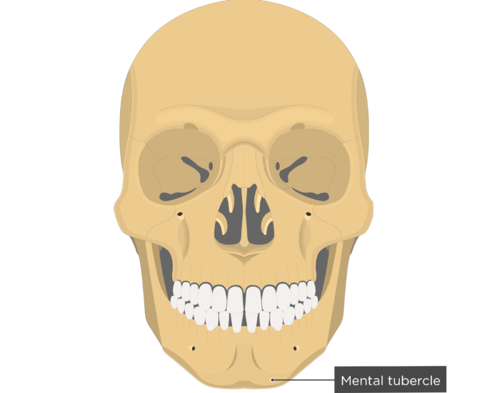 Mental tubercle - Mandible bone - Anterior view