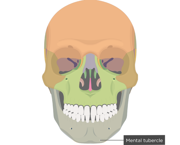 Mental tubercle - Mandible bone - Anterior view colored