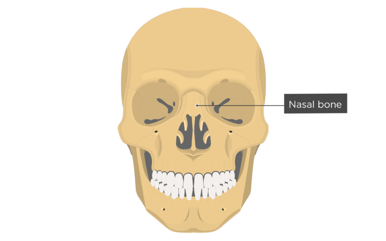 Nasal Bone Anterior view labeled