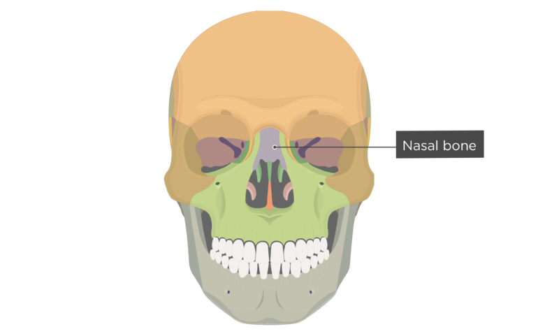 Nasal Bone Anterior view labeled colored