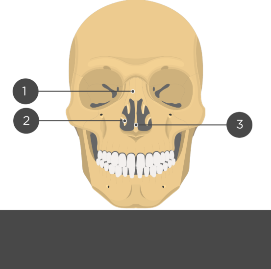 Nasal, Vomer, and Inferior Turbinate (Concha) Bones Anterior View - Test yourself
