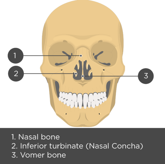 Nasal, Vomer, and Inferior Turbinate (Concha) Bones Anterior View - Test yourself - Answers