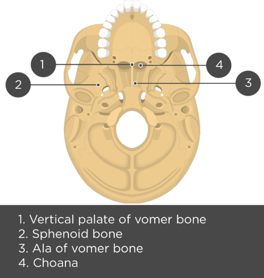 Nasal, Vomer, and Inferior Turbinate (Concha) Bones Inferior View - Test yourself - Answers