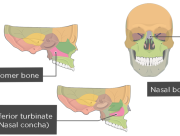 Palatine Bone Anatomy