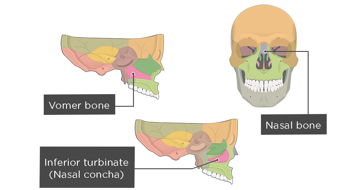 Nasal, Vomer, and Inferior Turbinate (Concha) Bones Anatomy