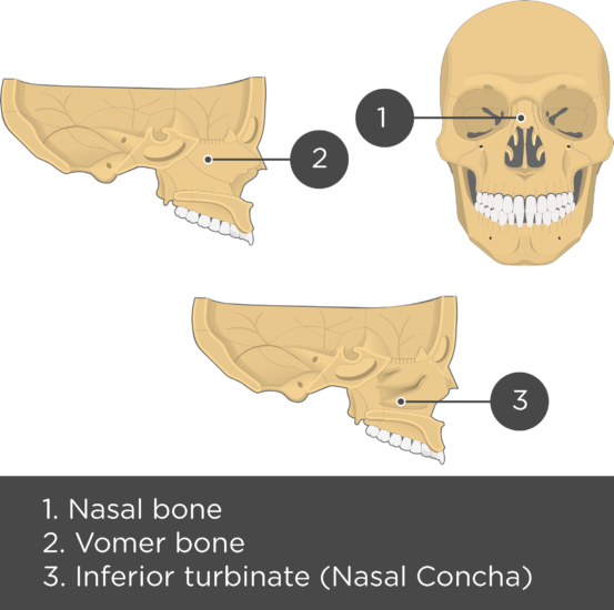 Nasal, Vomer, and Inferior Turbinate (Concha) Bones Overview - Test yourself - Answeres