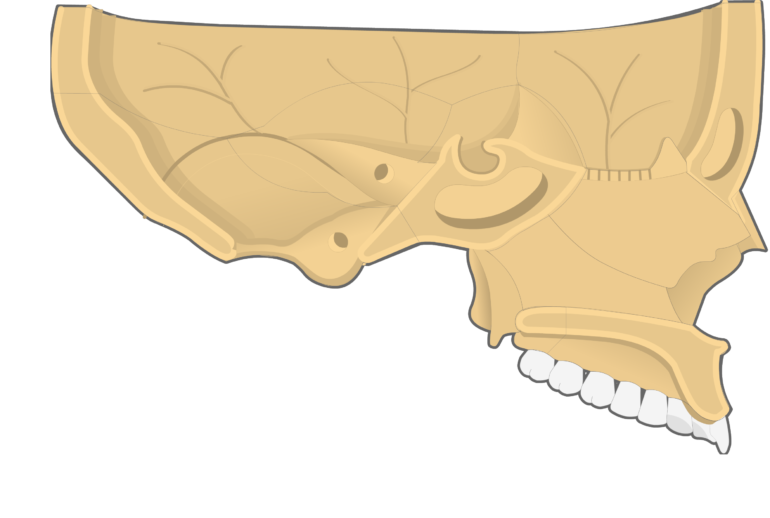 Nasal, Vomer, and Inferior Turbinate (Concha) Bones Sagittal View With Nasal Septum