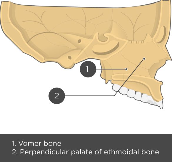 Nasal, Vomer, and Inferior Turbinate (Concha) Bones Sagittal View With Nasal Septum - Test yourself - Aswers