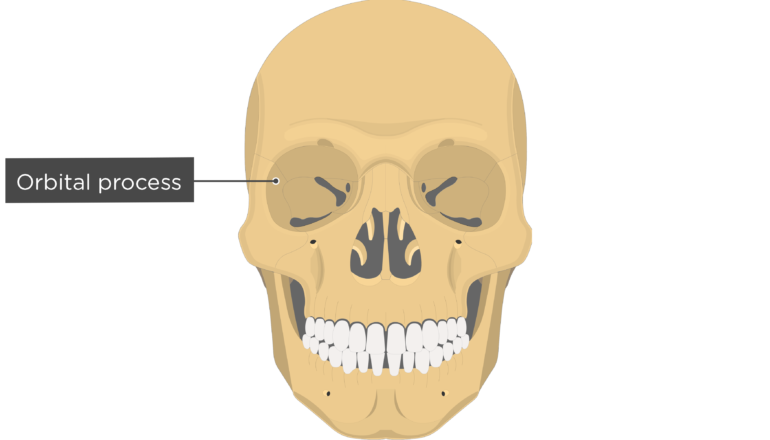 Orbital process - Zygomatic Bone - Anterior-View