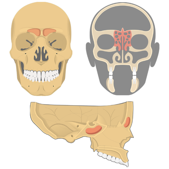 The anterior, coronal, and sagittal view of the paranasal sinuses