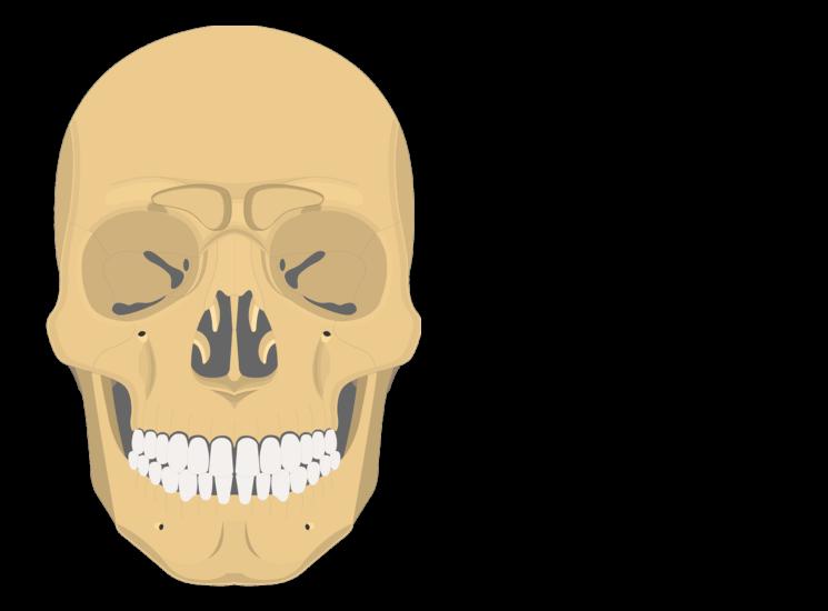Paranasal sinuses - anterior view