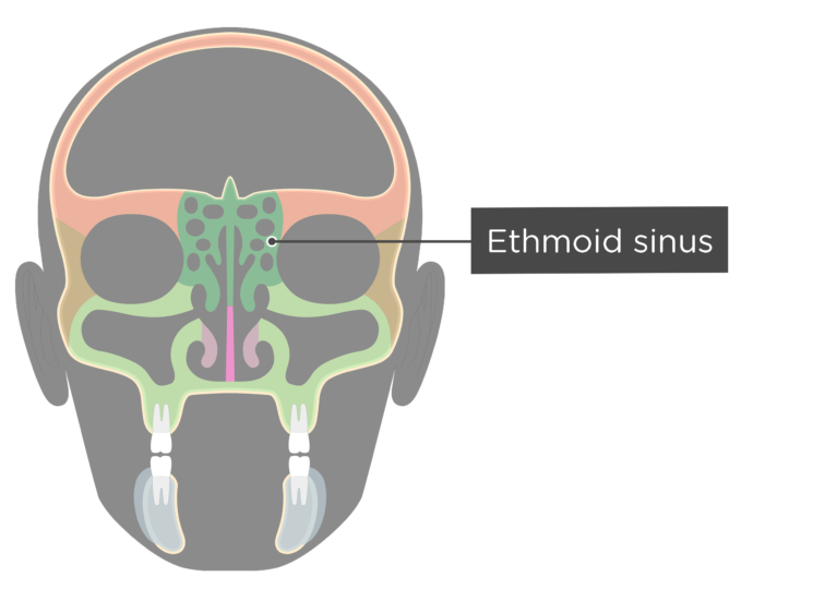 The ethmoid sinus - coronal view